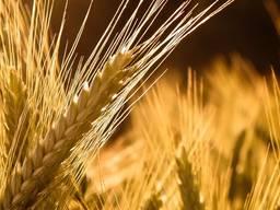Уборка зерновых и подсолнечника Massey Ferguson 7274