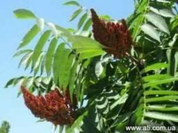 Уксусное дерево - Сумах оленорогий. Новинка из Америки