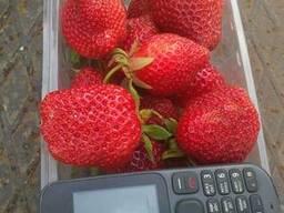Ультраранняя клубника Ultra-Strawberry