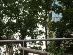 Валка деревьев в Киеве.