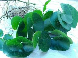 Копытень европейский (саженцы). Вечнозелёное растение.