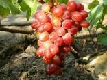 Вегетирующие саженцы винограда - фото 1