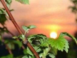 Ветки малины 100грамм