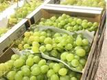 Виноград - фото 2
