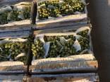 Виноград из Узбекистана - фото 3