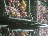 Виноград изабельных сортов на вино и соки. - фото 1