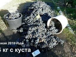 """Виноград """"Каберне-совиньон"""" саженцы технический винный сорт"""
