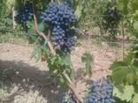 Виноград - кишмиш из Узбекистана - фото 6