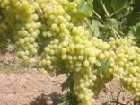 Виноград - кишмиш из Узбекистана - фото 7