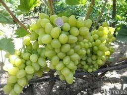 Виноград сорт Аркадия купить от производителя