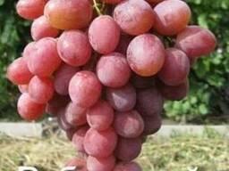 Виноград сорт Рубиновый Юбилей купить в питомнике