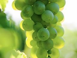 Виноград Технический
