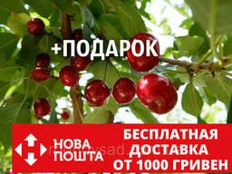 """Вишня """"Чернокорка"""" семена (20 штук) для саженцев (насіння. .."""
