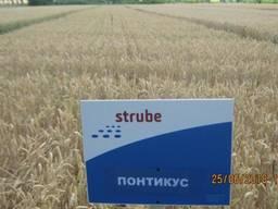 Високоякісна озима пшениця Понтікус (Штрубе, Німеччина)