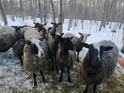 Вівця романівської породи