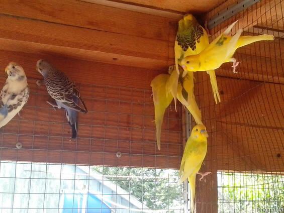 Волнистые попугаи для разговоров и разведения