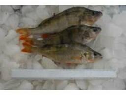 Все виды речной рыбы ОПТ