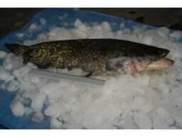 Все виды речной рыбы в асортименте