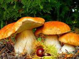 Грибница белых грибов первичная, готовый к посадке мицелий