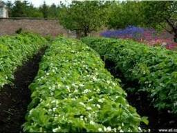 Выращивание клубники в открытом грунте на капельном орошении