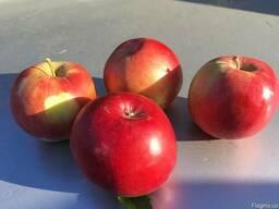 Яблоки Айдаред под хранение. Отличное качество
