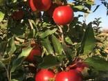 Яблоки Айдаред под хранение. Отличное качество - фото 5