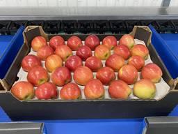 Яблоки сортировка, упаковка в подложки для бушеля, лотка