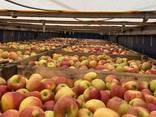 Яблука відмінної якості - фото 3