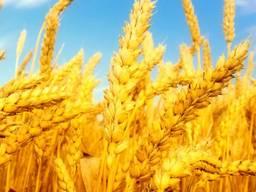 Ячмень пшеница кукуруза горох овес макуха соевая