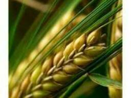 Ячмень яровой Еней семена