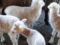 Ягнята, овцы
