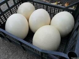 Яичная скорлупа страусиная