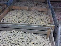 Якісна насіннєва картопля