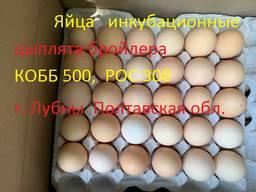 Яйца инкубационные