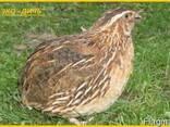 Яйца инкубационные перепела Фараон (селекция Испания). - фото 3