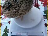 Яйца инкубационные перепела Феникс Золотистый - Франция. - фото 1