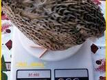 Яйца инкубационные перепела Феникс Золотистый - Франция. - фото 2