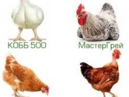 Яйца инкубационные яичных пород кур