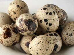 Перепелиное инкубационное яйцо