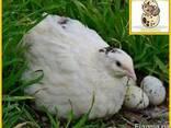Яйцо инкубационное перепелиное и молодняк белый техасец. - фото 4