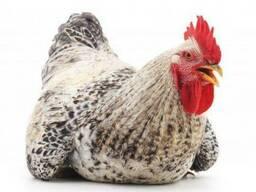 Яйця інкубаційні Редбро , Мастер , Голошийка