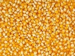 Yellow corn no GMO
