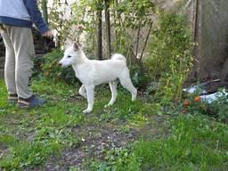 Західносибірська лайка щенята цуценята