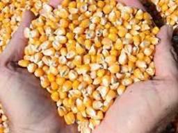 Закупаем кукурузу на єлеватор