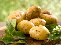Закупаем Молодой Картофель