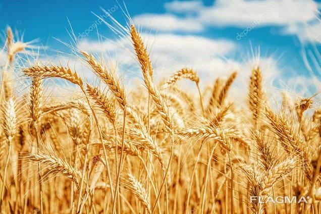 Закупаю зерно по всей территории Украины!База/проблемное!