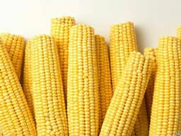 Закупаем Проблемную Кукурузу Дорого