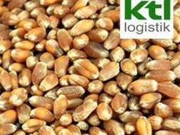 Постійно закуповуємо пшеницю фуражну