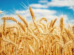 Закупаем пшеницу ФУРАЖ за НАЛ, Запорожская обл