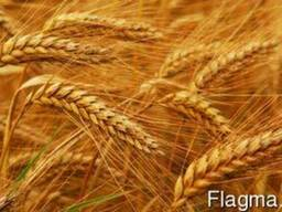 Закупаем пшеницу фуражную.